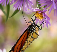 Monarch by Pete5