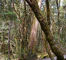 Pencil Pine Walk, Cradle Mountain N.P. Tasmania, Australia by Margaret  Hyde