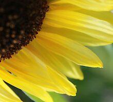 Regent Sunflower by rualexa