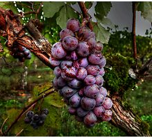 I Need A Big Squeeze ~ Grapes ~ Photographic Print