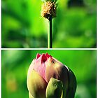 Before And After Lotus Flower by tropicalsamuelv
