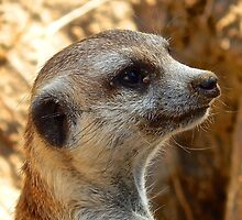 Curious Meerkat by khoyian
