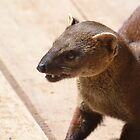 I'm A Ring Tailed Mongoose by Sauropod8