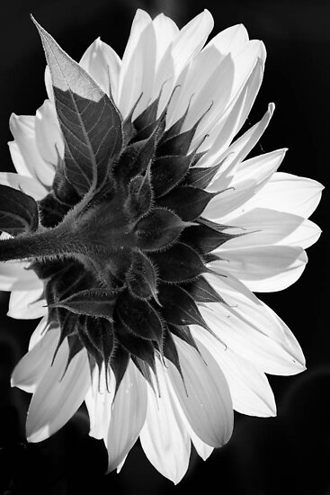 Sunflower by Richard Fortier