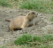 Prairie Dog on Watch by rhamm