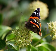 Red Admiral.. by Lauren Tucker