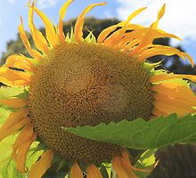 Tasmanian Sunflower by pearloil