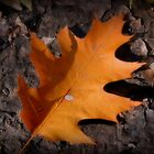 Oak Leaf by Pamela Burger