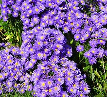 Michaelmas Daisies by Fara