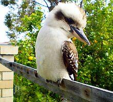 Kookaburra And Lemon Tree City Beach 08 10 13 by Robert Phillips