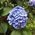Beautiful Blue Hydrangea Blossom - Heligan by kathrynsgallery