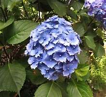 Beautiful Blue Hydrangea Blossom - Heligan by kathrynsgallery