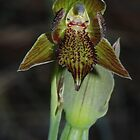 Calochilus richae (Bald-tip Beard-orchid) by Russell Mawson