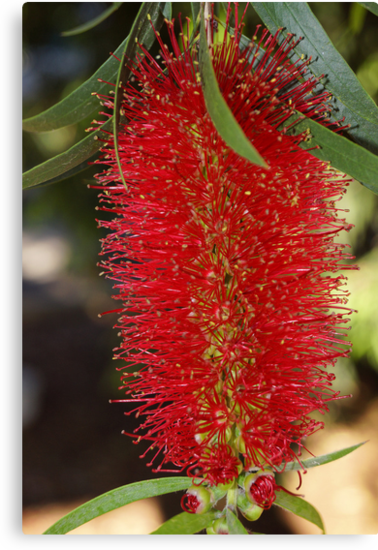 Bottle brush flower by Steve9