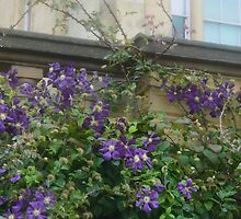 CLEMATIS MONTANA VILLE DE LYON WITH HAREWOOD HOUSE IN THE BACKGROUND by paulasphotos101