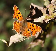 Comma Butterfly in Fall by Jo Nijenhuis