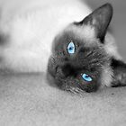 Siamese Kitty by NAH Photography