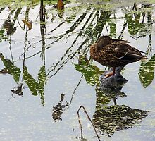 Female Mallard Preening 2 by MSRowe Art and Design