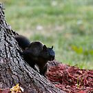 Black Squirrel by Keala