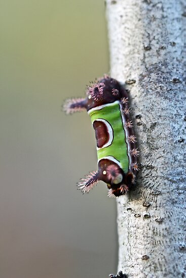 Saddleback Caterpillar - Acharia stimulea - BEWARE by MotherNature