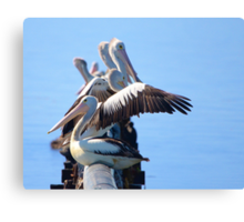 Pelican gathering Canvas Print