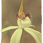 A Very Splendid Splendid Spider Orchid by Paul Amyes