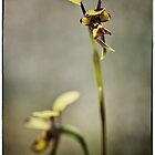 Native Orchids of the Western Australian Wheatbelt by Paul Amyes