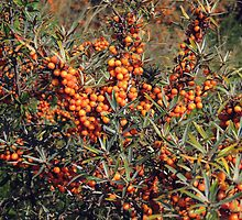 Harvest Time for Sea Buckthorn  by Alexandra Lavizzari