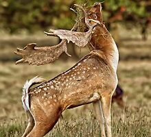 Stag wearing a fascinator by Judi Lion