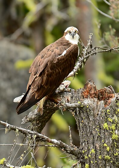 Osprey with fish by Sherry Adkins