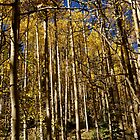 Aspen Forest by Jeri Stunkard