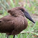 A Hamerkop up close by jozi1