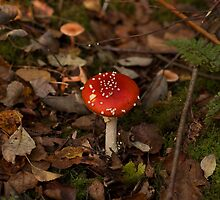 Fly Agaric toadstool by Sue Robinson