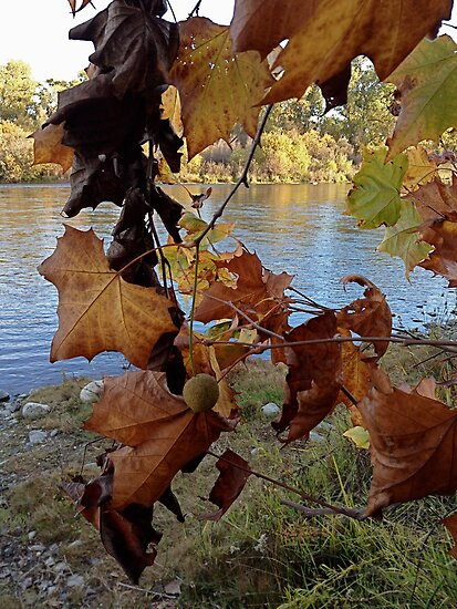 Sycamore and the River by Barbara Wyeth