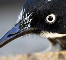 Photographers reflection in the eye of this New Holland Honeyeater (Phylidonyris novaehollandiae) by John Harvey