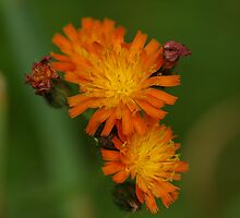 Orange Hawkweed by Gillian Marshall