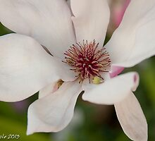 Brief encounters with Magnolia by Bryan Cole