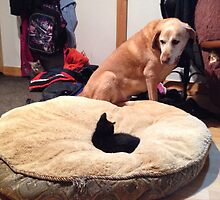 He's been here about a week and at 9 weeks old, has managed a power move on the dogs bed. by catdose
