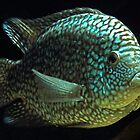 Texas cichlid - Herichthys carpintis - Escondido sp by bidkev1