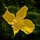 Golden Wood Poppy by cclaude