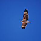 White-bellied sea eagle / Osprey by gogston