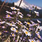 Mt. Hood's Little Daisy Friends by Jenny Ryan