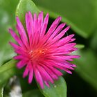 Pink Flower of Succulent Carpet Weed by taiche