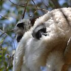 Peeping Verreaux's Sifaka  by Sauropod8
