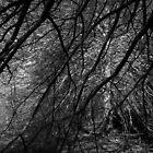 Scary Trees- Oak Glade, Mount Lofty by Ben Loveday