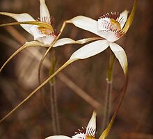 Tangled spider orchids by Paul Amyes