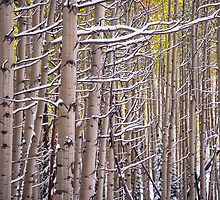 Early Winter Aspens by Luann wilslef