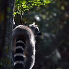 Ring Tailed Lemur Bum by Sauropod8