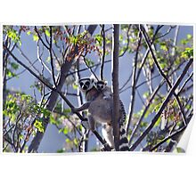Ring Tailed Lemur, Mother And Baby Poster