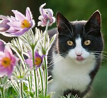 Cat looking through pasque flowers by Katho Menden